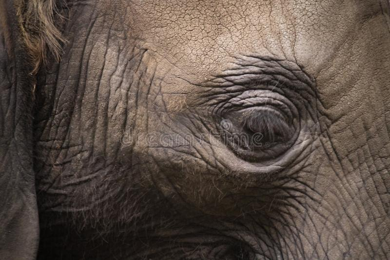 Elephant eye close detail. Elephant head close side profile portrait with eye as main focus point royalty free stock photos