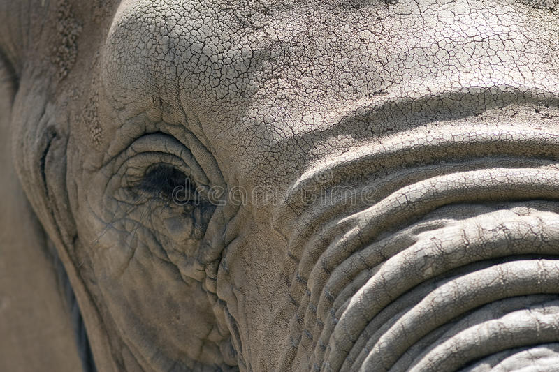 Elephant Face Royalty Free Stock Photos