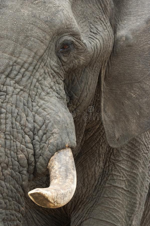 Download Elephant face stock image. Image of safari, sand, herbivore - 28910199