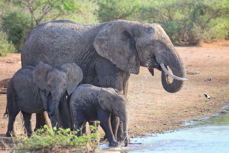Elephant-familie in een watergat royalty-vrije stock foto