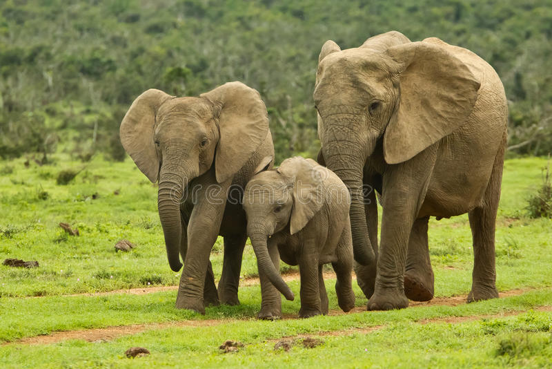 Download Elephant family stock photo. Image of landscape, conservation - 19027804