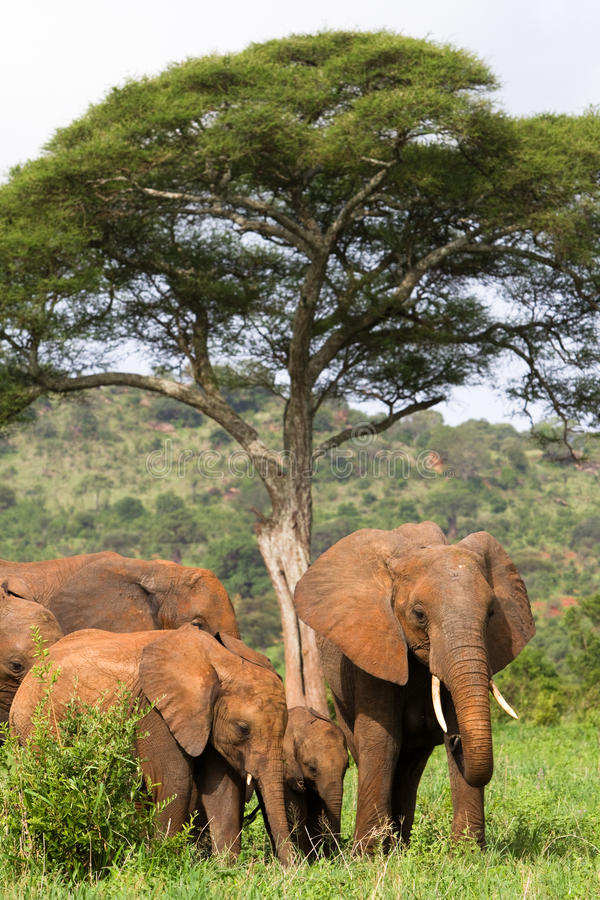 Free Elephant Family Stock Image - 22430891