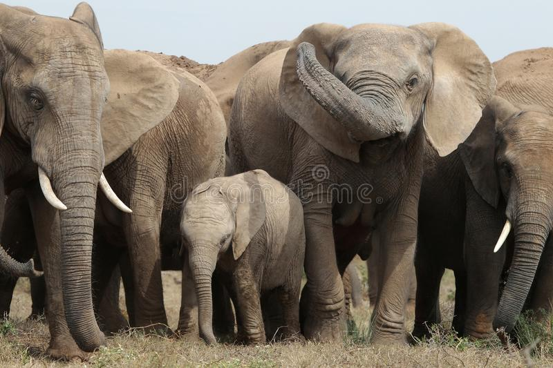 Download Elephant Family Royalty Free Stock Photography - Image: 22963997