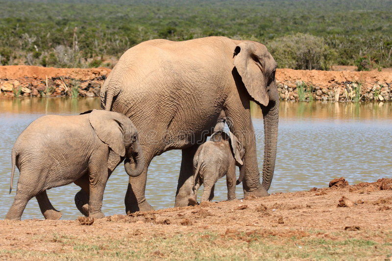 Download Elephant family stock photo. Image of high, calf, ears - 9113974