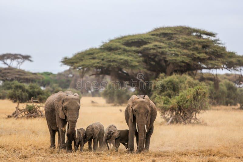 Elephant family in Amboseli stock photos
