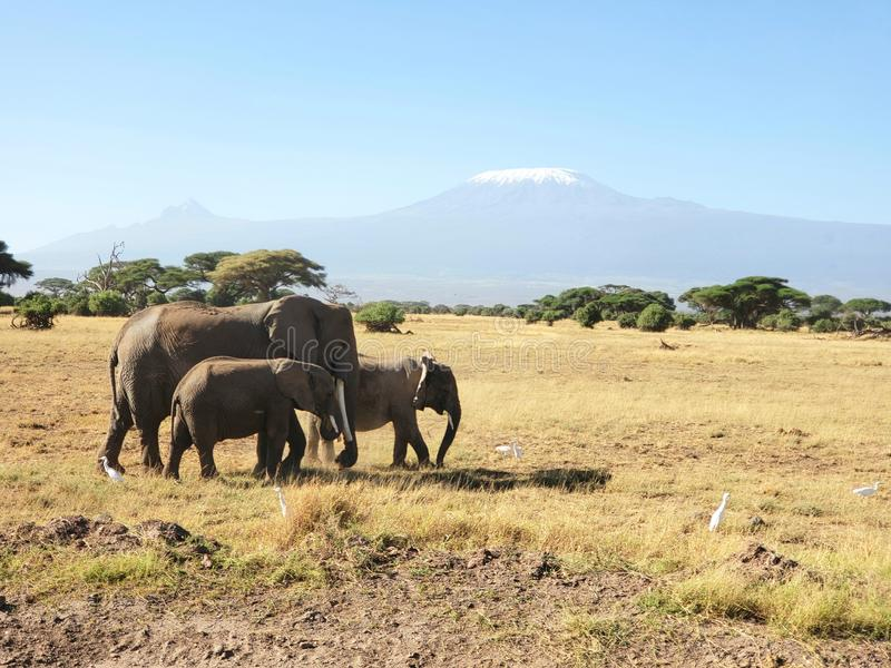 Elephant Family in Amboseli National Park with Mount Kilimanjaro in the Background, Kenya. Elephant family amboseli national park mount kilimanjaro backgroung stock photo