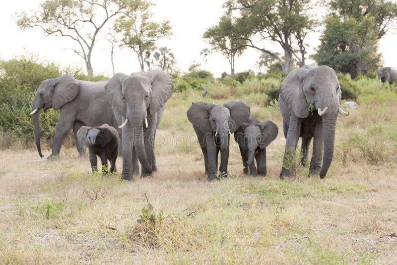 Elephant family, elephant babies protectet by grown elephants stock photo