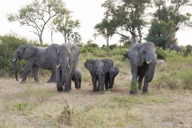 Elephant family with babies stock photos