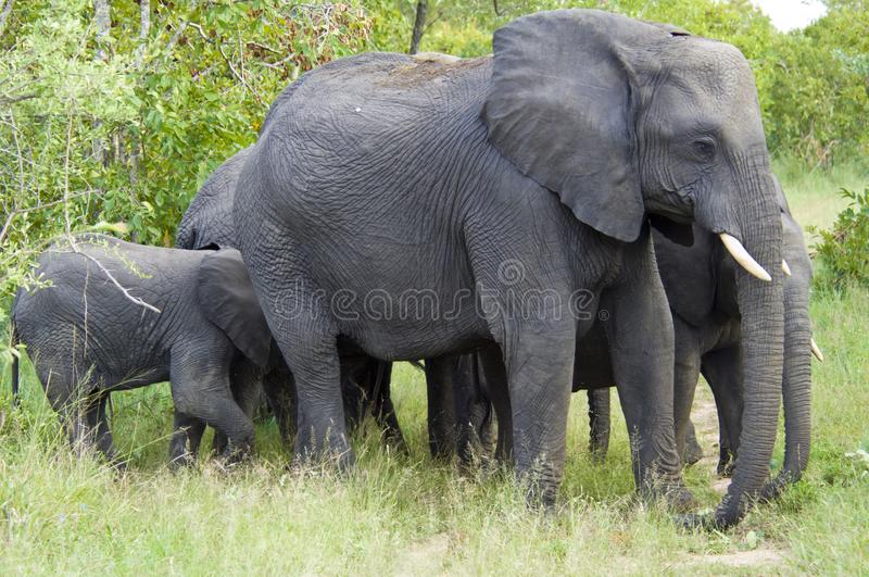 Elephants with baby standing together, elephants protect baby elephants, South Africa stock photos