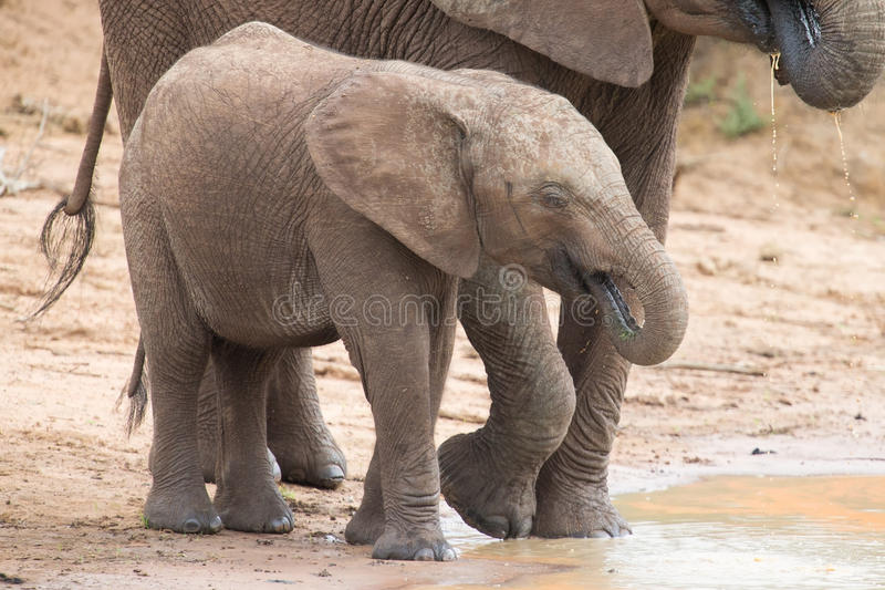 Elephant family drinking water to quench their thirst on very ho. Elephant family drinking water to quench their thirst on a very hot day stock photography
