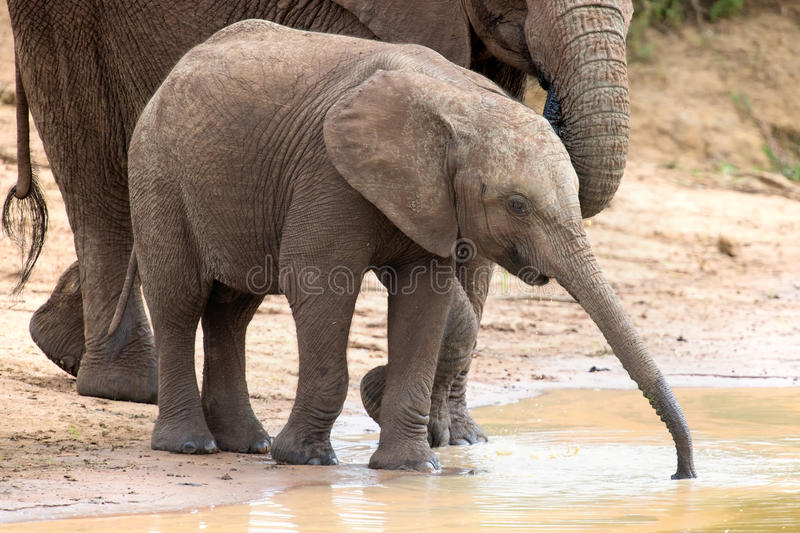 Elephant family drinking water to quench their thirst on very ho. Elephant family drinking water to quench their thirst on a very hot day royalty free stock photography