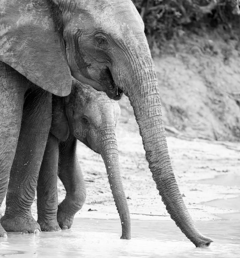 Elephant family drinking water to quench their thirst on very ho. Elephant family drinking water to quench their thirst on a very hot day artistic conversion royalty free stock photos