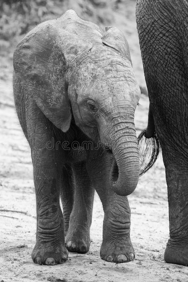Elephant family drinking water to quench their thirst on very ho. Elephant family drinking water to quench their thirst on a very hot day artistic conversion royalty free stock image