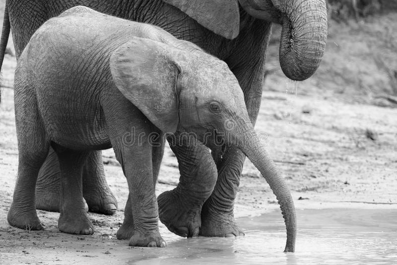 Elephant family drinking water to quench their thirst on very ho. Elephant family drinking water to quench their thirst on a very hot day artistic conversion stock photos
