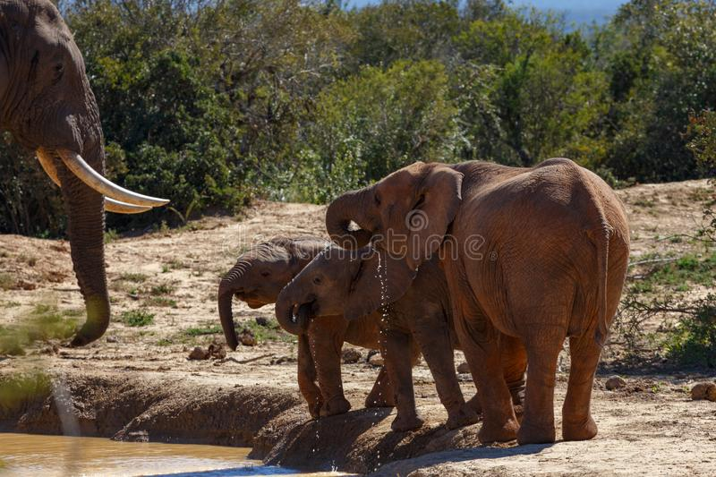 Elephant family drinking water together stock photography