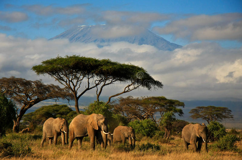 Elephant family in front of Mt. Kilimanjaro. African elephant family walking in front of view of Mt. Kilimanjaro royalty free stock photos