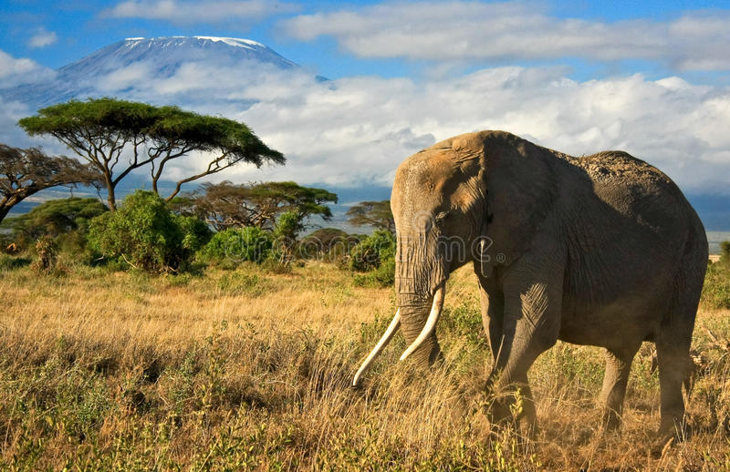 Elephant family in front of Mt. Kilimanjaro. African elephant family walking in front of view of Mt. Kilimanjaro royalty free stock image