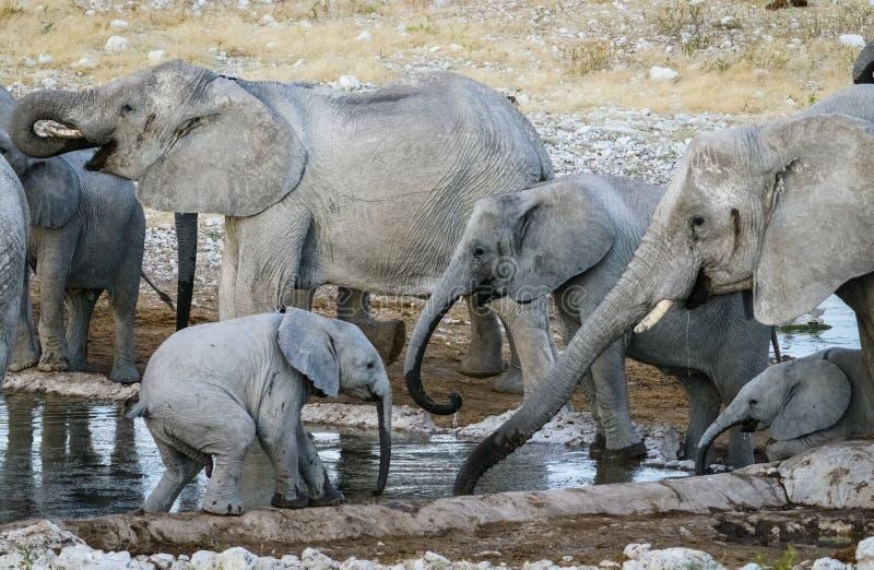 Elephant family gatherering royalty free stock image