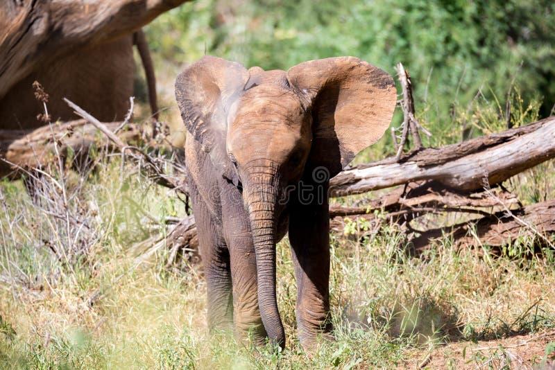 An elephant family goes through the bushes royalty free stock photos