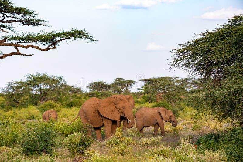 An elephant family goes through the bushes stock photo