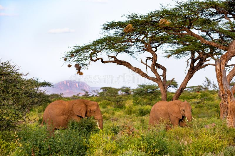 An elephant family goes through the bushes royalty free stock images