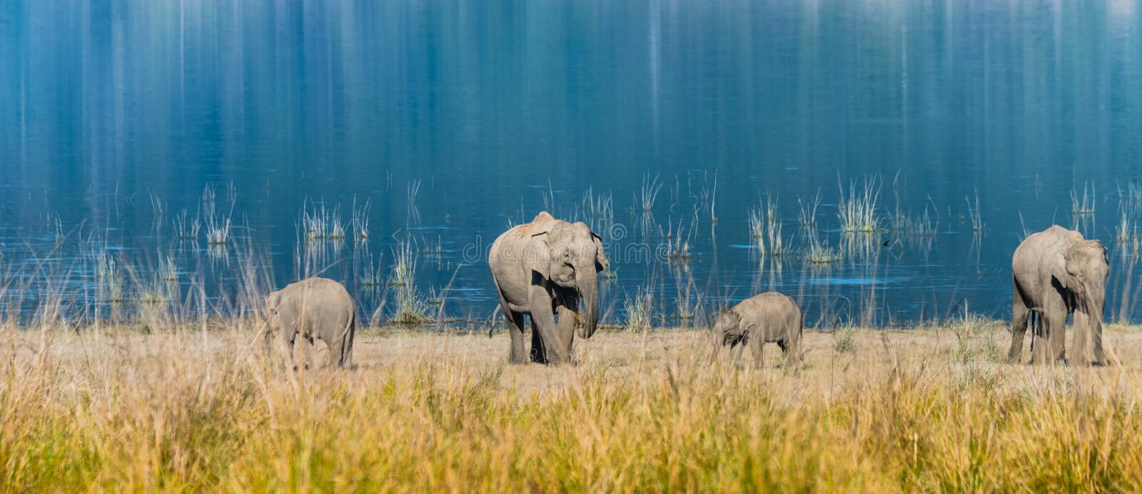 Elephant family at Grassland of Jim Corbett. Mother elephants accompany with her calf grazing grass at Jim Corbett National Park royalty free stock images