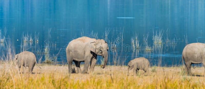 Elephant family at Grassland of Jim Corbett. Mother elephants accompany with her calf grazing grass at Jim Corbett National Park stock image