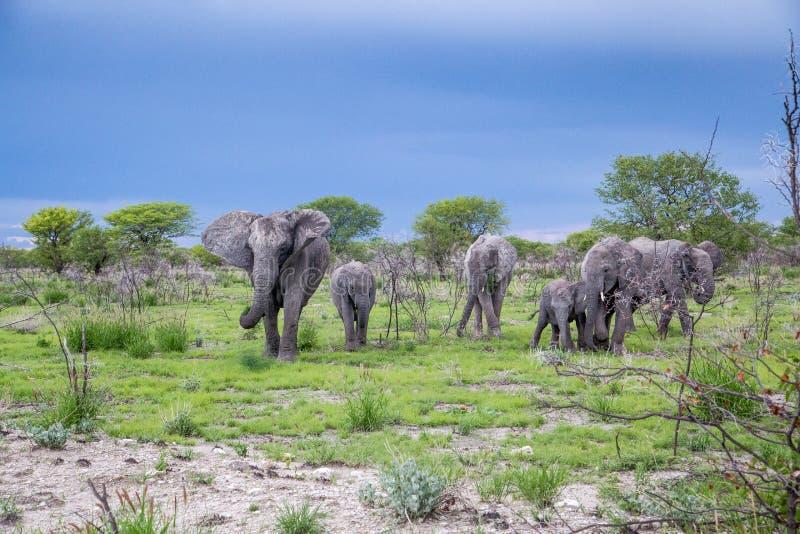 Elephant family group stock photography