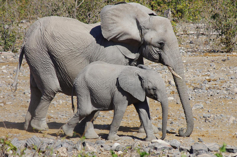 Elephant family. Mother elephant and her cub walking in the bush royalty free stock photos
