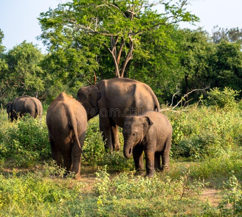 Elephant family on safari royalty free stock image