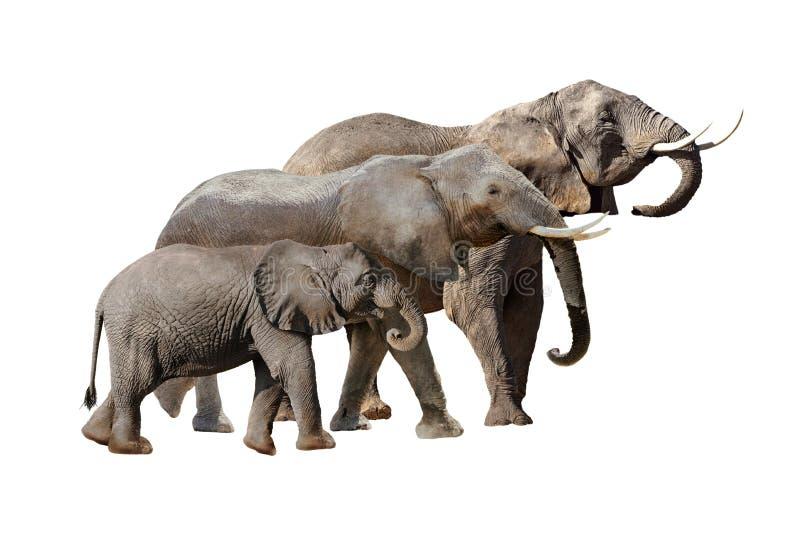 Elephant Family Together Isolated on White stock photography