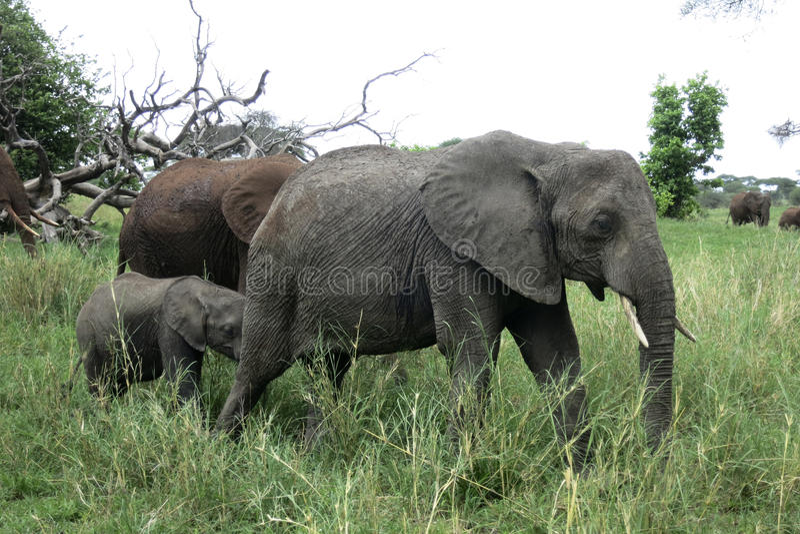 Elephant Family Walking in Namibian Desert stock photo