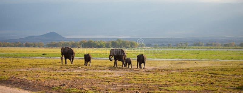 Elephant family is walking in the savannah in Kenya royalty free stock photo