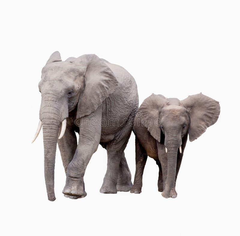 ELEPHANT FAMILY ON WHITE BACKGROUND isolated stock images