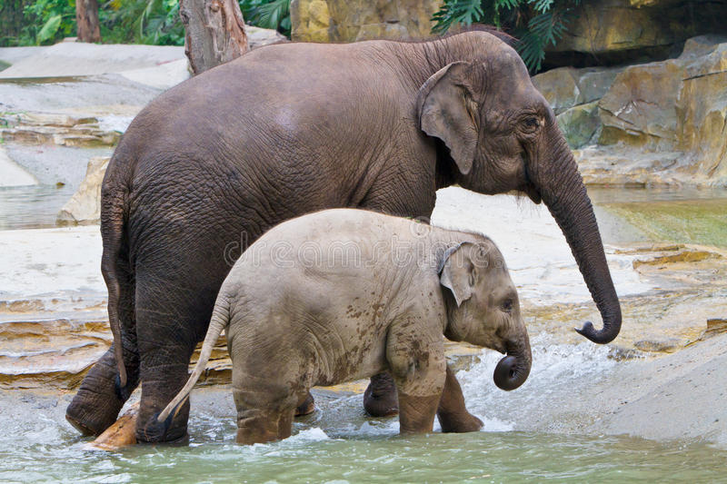 Elephant Familys Walking In River Stock Photography