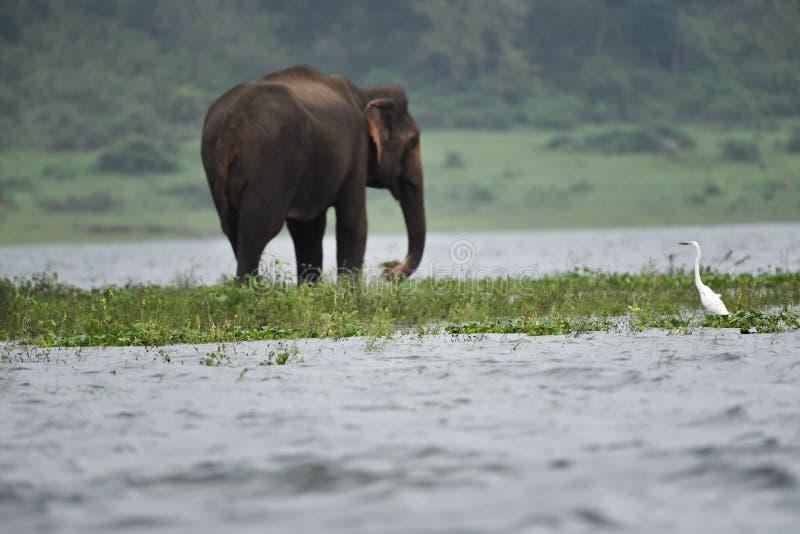 Elephant Feeding op het eiland van de ondergedompelde met Crane royalty-vrije stock foto