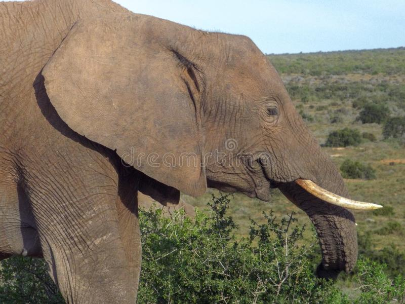 Elephant feeding on vegetation in the Addo Elephant Park, South royalty free stock photos