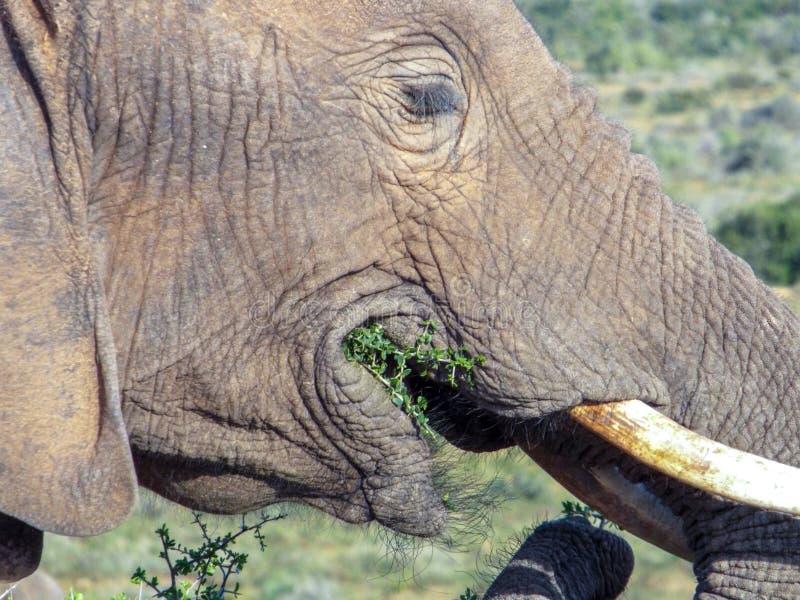 Elephant feeding on vegetation in the Addo Elephant Park, South royalty free stock images