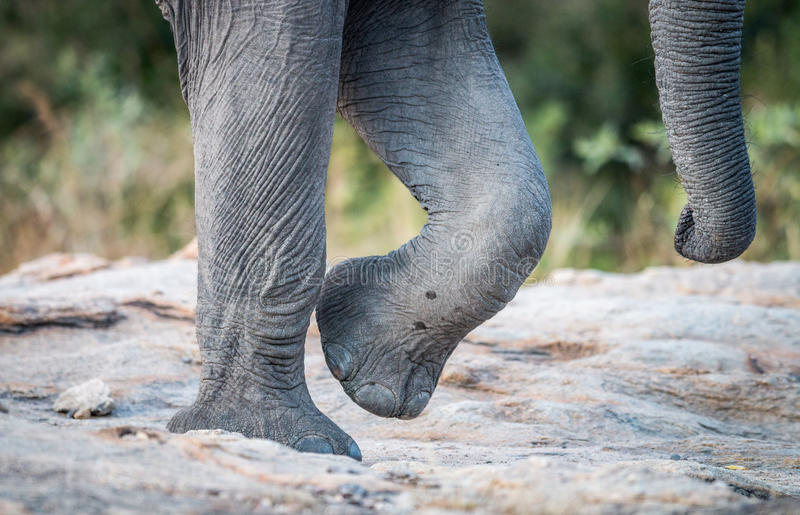 Elephant feet and trunk in the Kruger National Park. Elephant feet and trunk in the Kruger National Park, South Africa royalty free stock photo