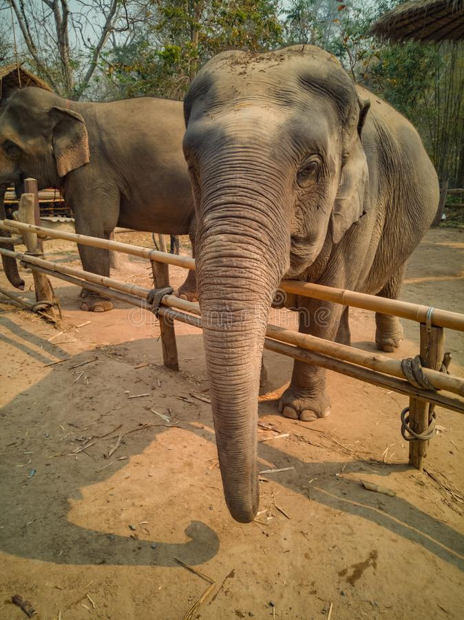 Female elephants look friendly. In bamboo corral located in areas that used to take care of their homes royalty free stock photos