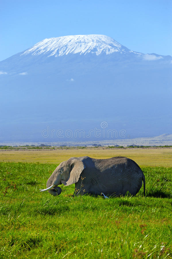 Elephant. Female elephant with Mount Kilimanjaro in the background royalty free stock photography
