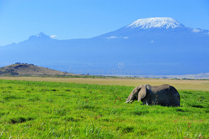 Elephant. Female elephant with Mount Kilimanjaro in the background stock photography