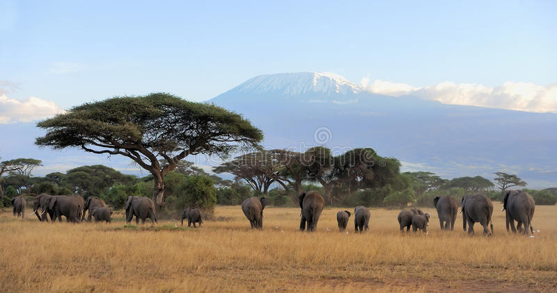 Elephant. Female elephant with Mount Kilimanjaro in the background royalty free stock image