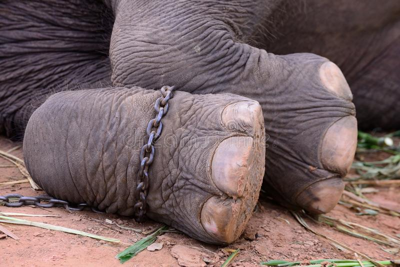 Elephant foot. Chain to elephant foot stock image