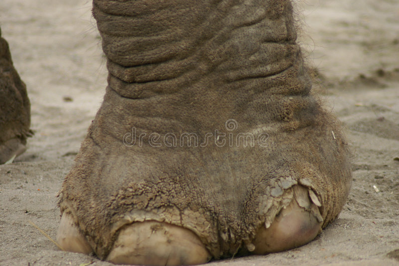 Elephant Foot. Close-up of Elephant foot stock photography