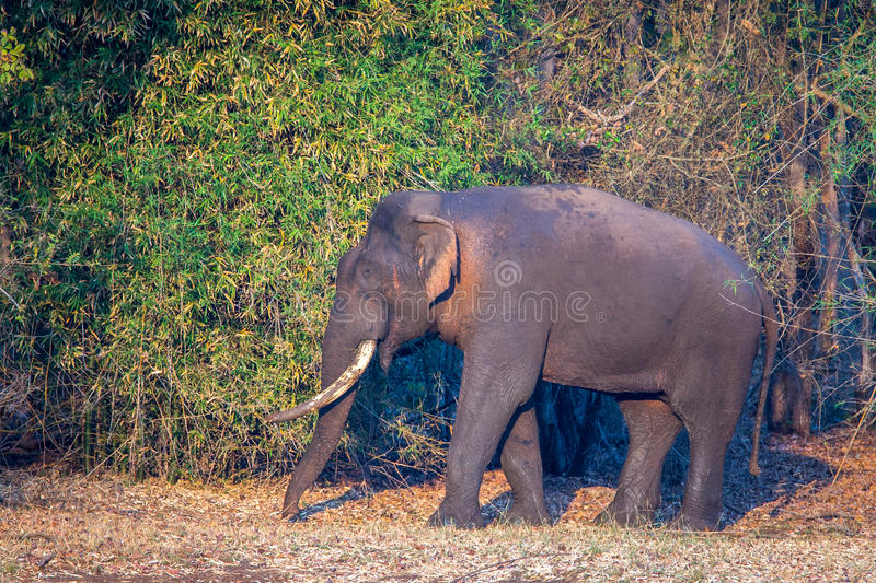 Elephant in Forest. Canon 6D 450mm ISO 800 1/400 f5.6nnn Elephant sighted in western ghats forests of India royalty free stock image