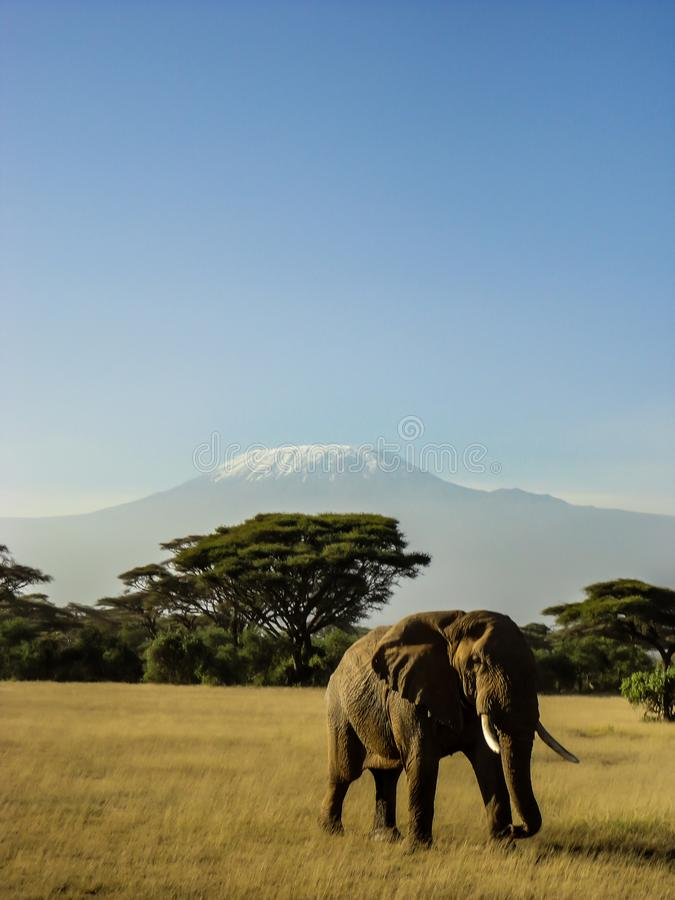 Elephant in front of kilimanjaro.  stock photo