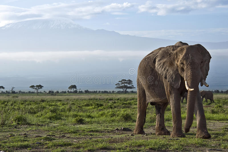 Elephant in front of Kilimanjaro. A large elephant in front of Mount Kilimanjaro, Kenya stock photography