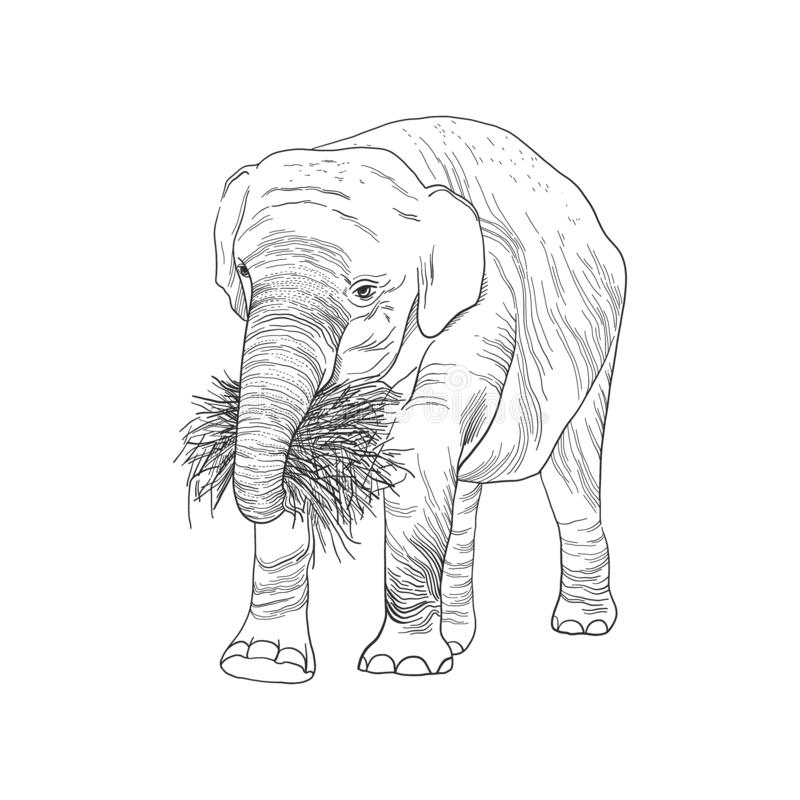 Elephant in full growth, holds dry branch, grass and roots with its trunk, sketch vector graphics monochrome drawing stock illustration