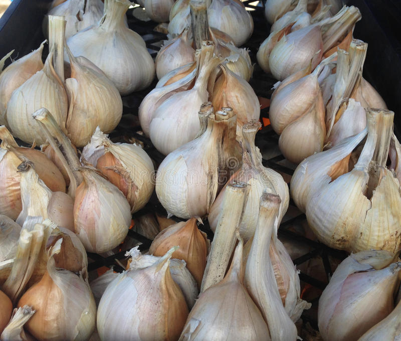 Elephant garlic cloves at a farmers market royalty free stock image